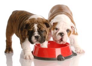 Puppies at the food dish