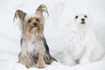 Yorkshire Terrier and Maltese