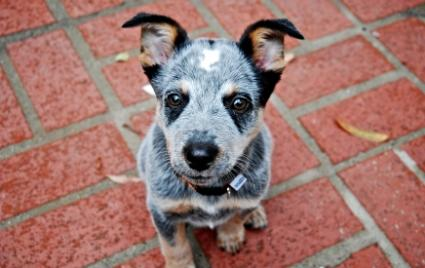 Blue Heeler Puppies on Blue Heeler Puppies