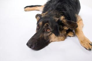Sick German Shepherd
