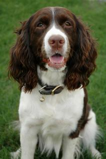 137427 212x318 Alert Springer Spaniel Why Do Dogs Get Epilepsy?