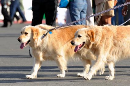 Taking two Goldens for a walk