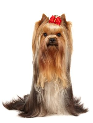 Yorkshire terrier stop growing age