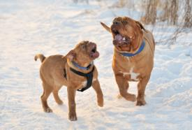 Two Mastiffs playing in the snow