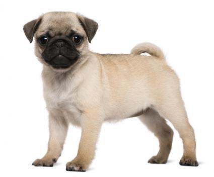 Pug Dog Breed Health Issues