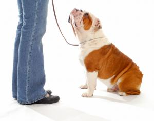 Training English Bulldog to Sit