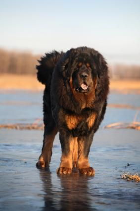 Black and tan Tibetan Mastiff; Copyright Sunheyy at Dreamstime.com