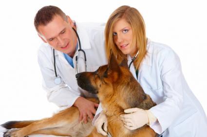Vets giving dog a pregnancy exam; Copyright Monika Wisniewska at Dreamstime.com