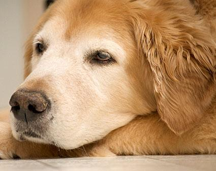 Crusty Dog Nose: Dog Crusty Nose Treatment, Home Remedy