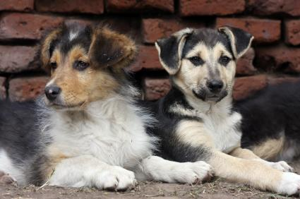 German Shepherd Collie mix littermates