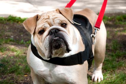 Bulldog on a walk