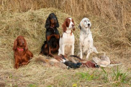 Group of sporting dogs
