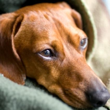 Small Dogs Kennel Cough
