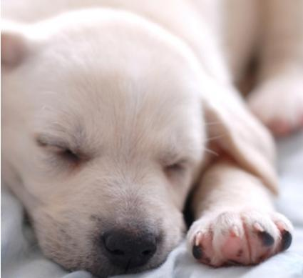 Cute Labrador Retriever pup; Copyright Suto Norbert at Dreamstime.com