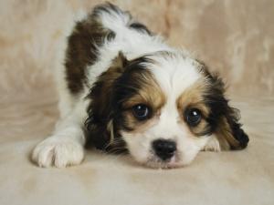 Tricolor Cavachon Pup; copyright Jaime Staley-sickafoose at Dreamstime.com
