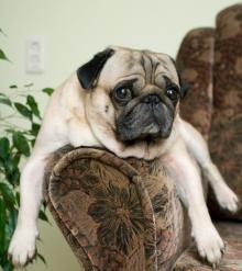 Pug on an arm chair