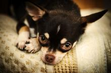 Chihuahua laying on a bed