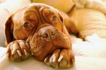 French Mastiff lounging