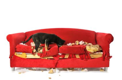 Puppy Chewing and Destroying a Couch