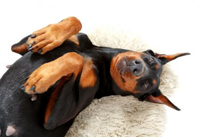 Joyful dog lying on carpet