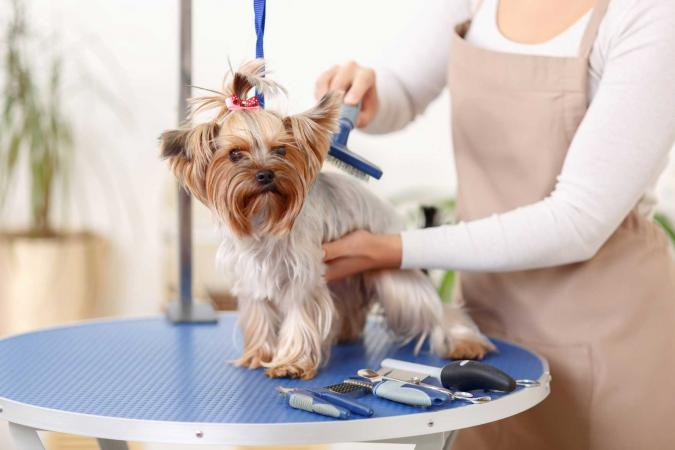 Yorkshire terrier being brushed by groomer