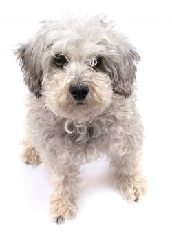Sitting Schnoodle dog