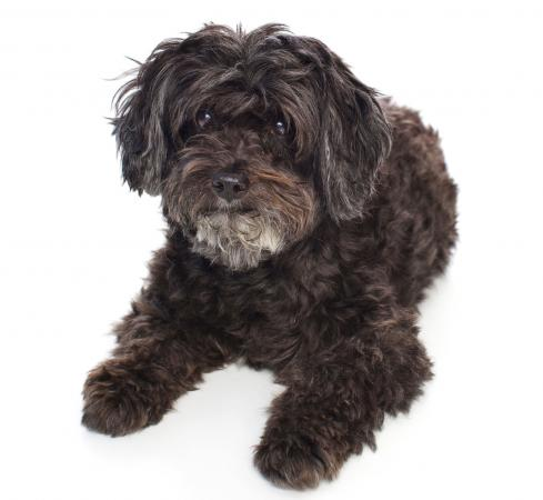 Black Schnoodle dog