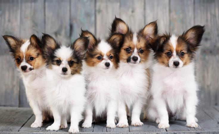 Papillon (Phalene ,Butterfly Dog,Squirrel Dog) puppies&quot- Stock ...