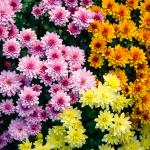 Chrysanthemum (Chrysanthemum spp)