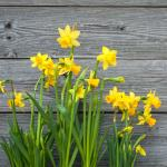 Daffodil (Narcissus spp)