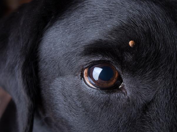 Tick on a dog
