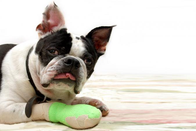 Bandaged Pooch