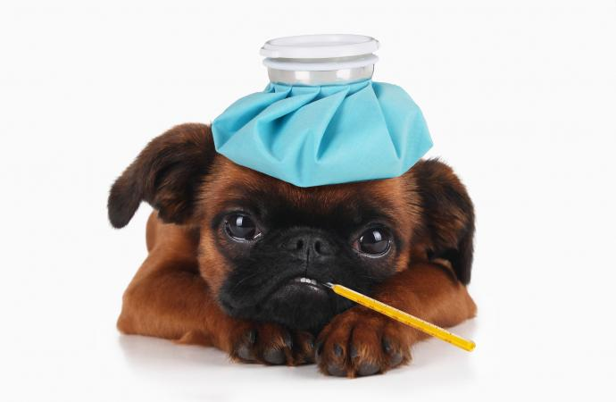 Puppy with ice pack on head