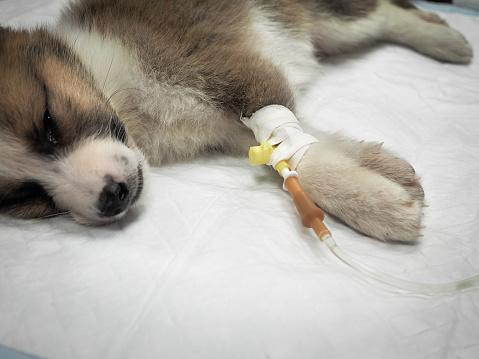 puppy with intravenous