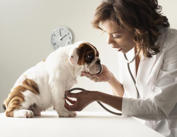 veterinarian examining puppy