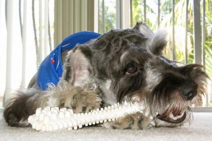 Dog with a chew bone