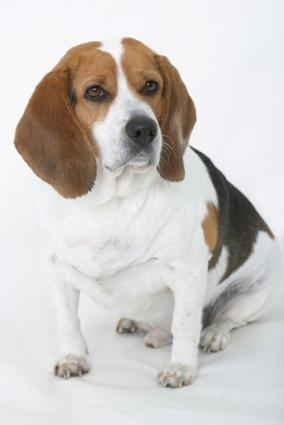 Beagle anal glands