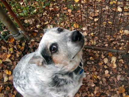 Australian Cattle Dog, aka Blue Heeler