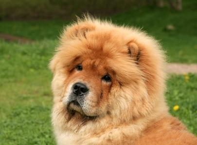 Black Chow Chow Lion Cut Will a chow chow fit your