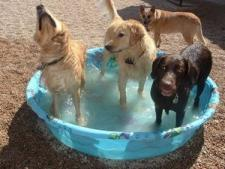 Dogs playing in a shallow pool
