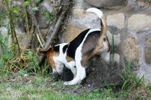 65394-300x199-Dog_digging.jpg