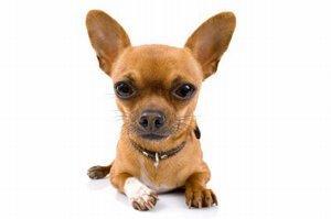 Chihuahua closeup