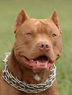 Pit Bull Fights