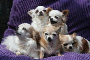 Chihuahua family