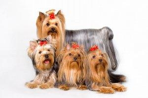 Yorkie mom and pups