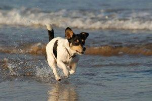 Terrier in water