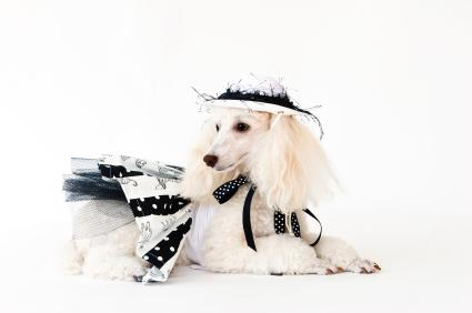 Poodle dressed in haute couture