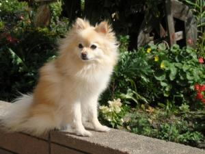 Pretty pomeranian in garden