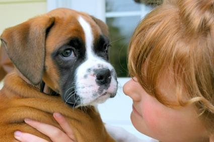 Miniature Boxer Puppies