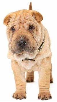 Cute Shar Pei puppy